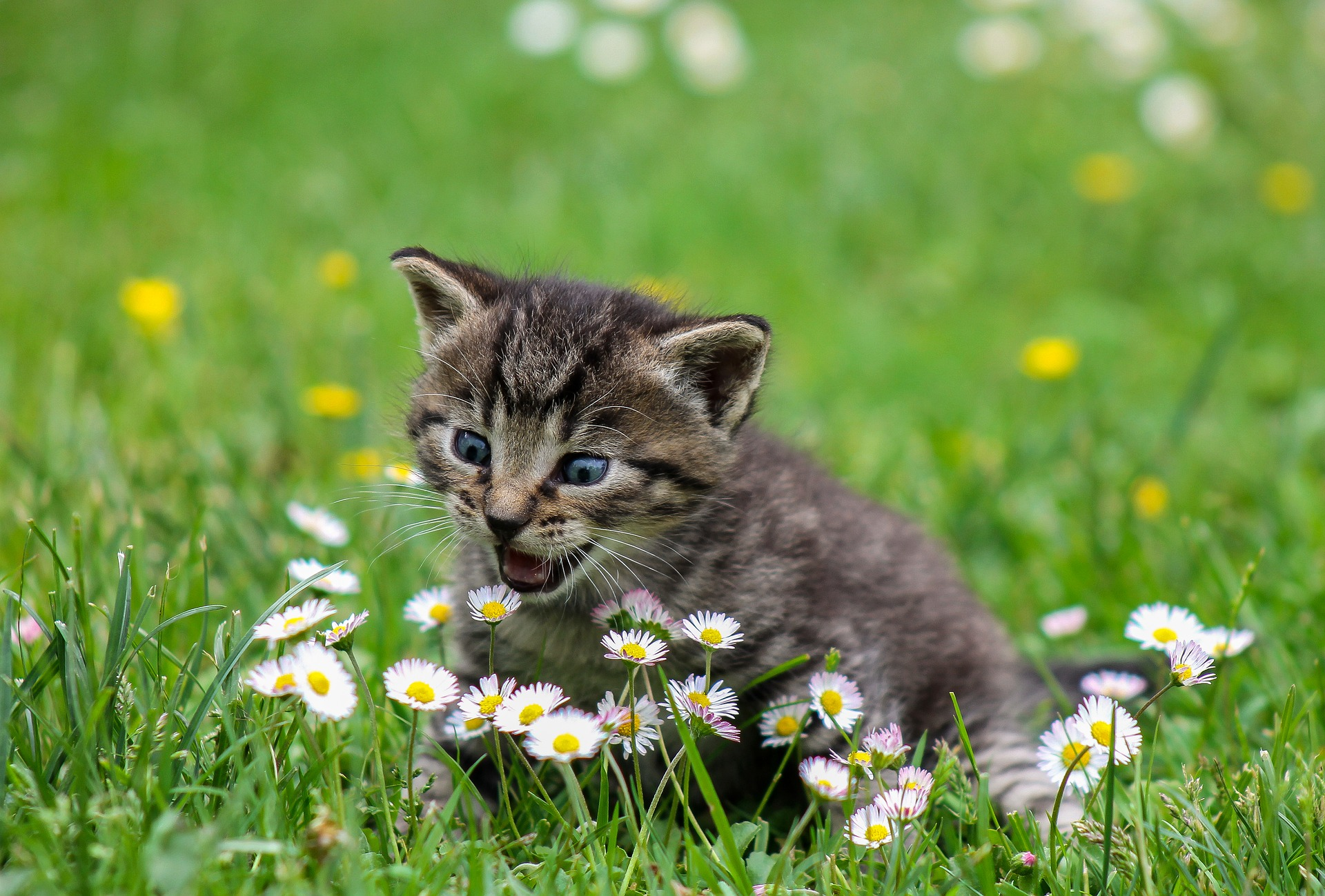 חתול בשדה